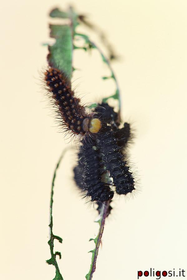 Saturnia pavoniella - Colorazione dei bruchi ...